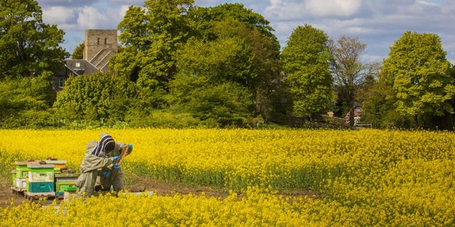 Beekeepers Helen McGregor and Lorant Nagy check hives in colorful rapeseed fields near Edinburgh. (Credit: SWNS)