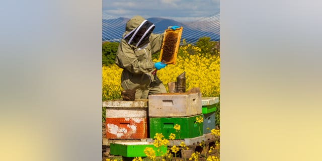 Beekeeper Helen McGregor checks hives in colorful rapeseed fields near Edinburgh with the Forth Bridges in the background. (Credit: SWNS)