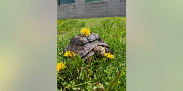 Ms. Jennifer, a 53-year-old tortoise, is looking for a new home after her owner died from the coronavirus, the Massachusetts Society for the Prevention of Cruelty to Animals said.
