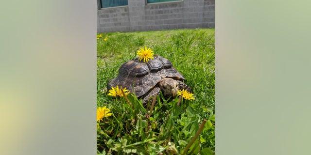 Westlake Legal Group c7745573-Tortise Elderly tortoise up for adoption in Massachusetts after owner dies of coronavirus Louis Casiano fox-news/us/us-regions/northeast/massachusetts fox-news/science/wild-nature/reptiles fox-news/health/infectious-disease/coronavirus fox-news/entertainment/genres/pets fox news fnc/us fnc article 53164f53-7c9f-5b3a-9fb4-8fec4e135316