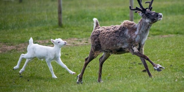 """These adorable pictures show a """"rare"""" white reindeer recently born in Britain prancing around with its siblings and parents at Somerset Reindeer Ranch near Yeovil. (Credit: SWNS)"""