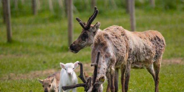 Blitzen (white fur) and Donner (brown fur), are third-generation calves at the Somerset reindeer ranch. (Credit: SWNS)