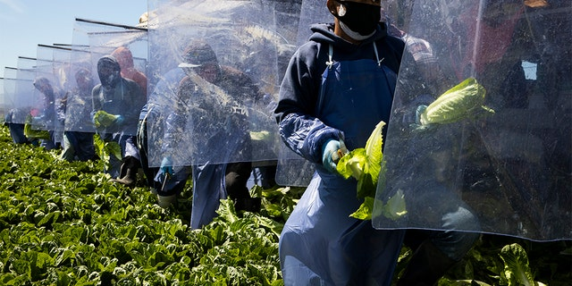 Farm laborers from Fresh Harvest working with an H-2A visa harvest romaine lettuce on a machine with heavy plastic dividers that separate workers from each other on April 27, 2020 in Greenfield, California. (Brent Stirton/Getty Images)