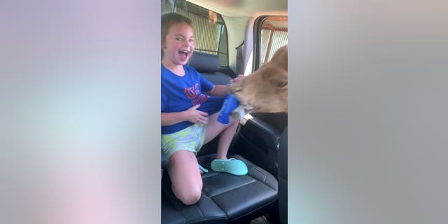 This is the moment a rude camel got the hump and attacked a family's car in search of snacks. (Credit: SWNS)