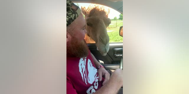 Nathan Pugh, 37, was at Arbuckle Wilderness - a drive-through zoo in Davis, Oklahoma - when the overzealous camel came poking around. (Credit: SWNS)