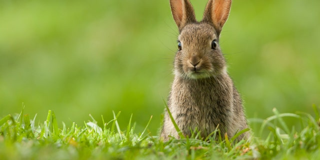 Domestic and wild rabbits alike can be affected by the virus.