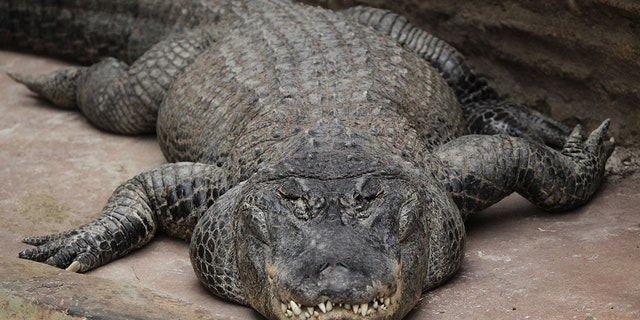 Mississippi alligators, like the one pictured above, typically live for 30 to 50 years in the wild, according to the zoo. (iStock)