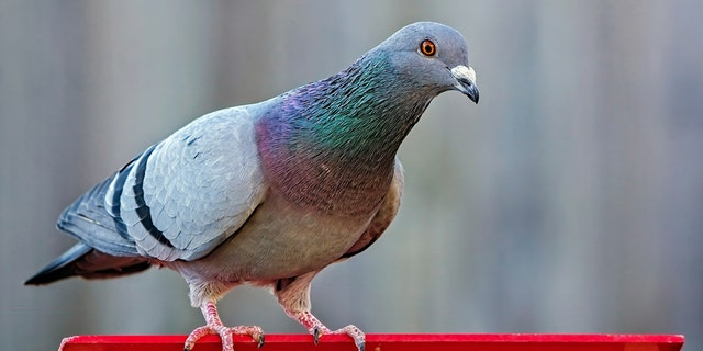Pigeon arrested in India suspected of being spy for Pakistan