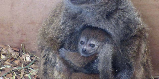 The newly born baby lemur and her mother at Bristol Zoo.(Credit SWNS)