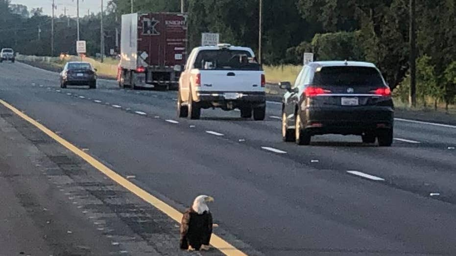 Bald eagles see record-high numbers after extinction threat