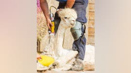 Viral pictures show chilled-out alpaca getting sheared during summer