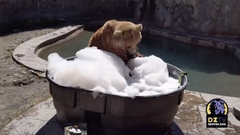 Giant grizzly bear jumps into bubble bath at Denver Zoo in adorable video