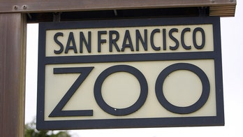 Mountain lion captured in downtown San Francisco suspected in deaths of 3 marsupials at zoo