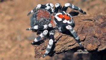 Scientists discover 'Joker' spider