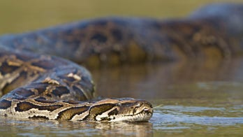 Florida officials consider suggesting Burmese snakes taking over Everglades be eaten