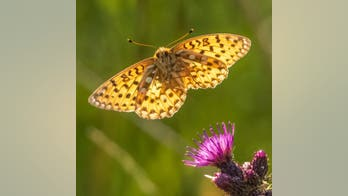 Photographer captures remarkable images of endangered butterfly flying off flower