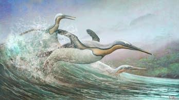 New Zealand 'monster penguins' had Northern Hemisphere doppelgangers, researchers say