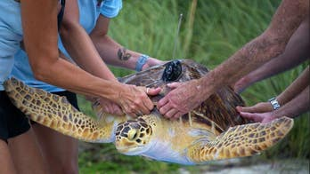 Large hybrid sea turtle partakes in 'race' near Florida Keys