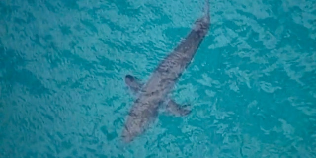 In this image made from aerial video, a shark swims along the coast of Kingscliff, New South Wales, Australia, Sunday, June 7, 2020.