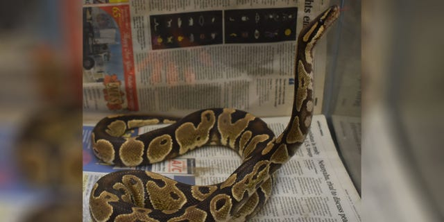 According to the DOA, these snakes may grow up to six feet in length and are native to Western and West-Central Africa.