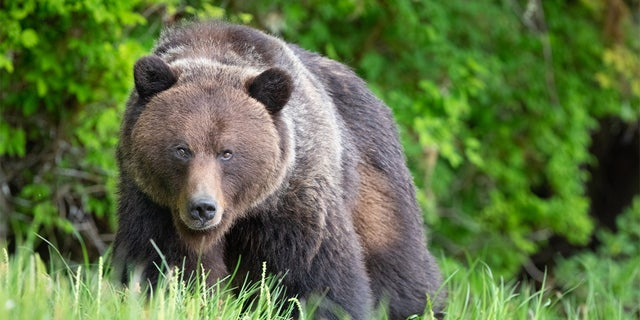The National Park Service warned people how to behave safely around bears if they see them this summer. A brown bear is pictured. (iStock)
