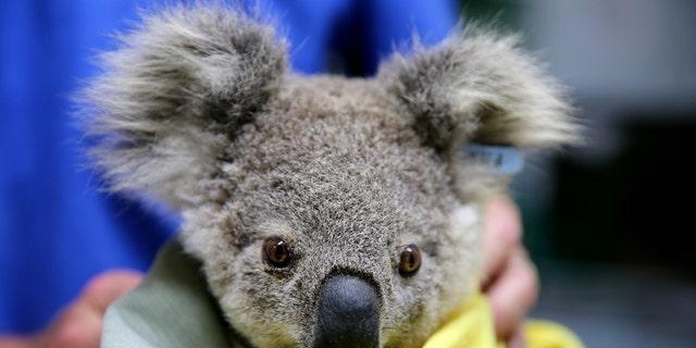 A koala named Pete from Pappinbarra at The Port Macquarie Koala Hospital on Nov. 29, 2019, in Port Macquarie, Australia.