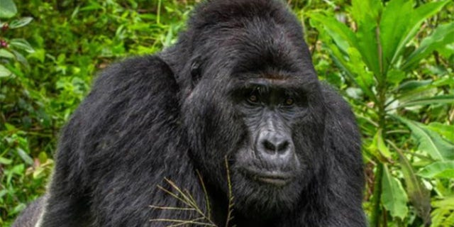Wildlife Conservation Awareness - Rafiki, who was killed earlier this month by poachers