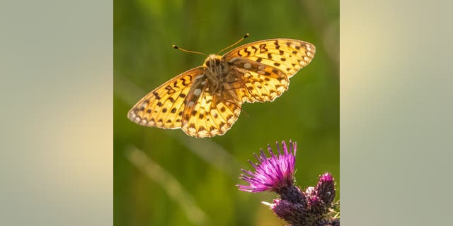 These incredible close-up images show two of the UK's most rarely seen and endangered butterflies gracefully taking flight from flowers at a nature reserve. (Credit: SWNS)
