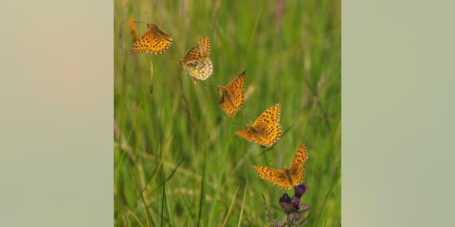 A dark green fritillary butterfly flight sequence. (Credit: SWNS)