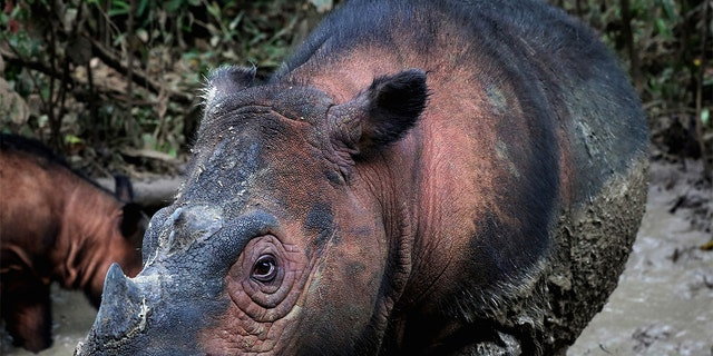 The Sumatran rhino (Dicerorhinus sumatrensis) is one of the most endangered mammals on Earth. Approximately 80 individuals remain in northern Sumatra, Indonesia, but poaching for their tusks and habitat loss threaten them with extinction. (Credit: Rhett Buttler/Mongabay)