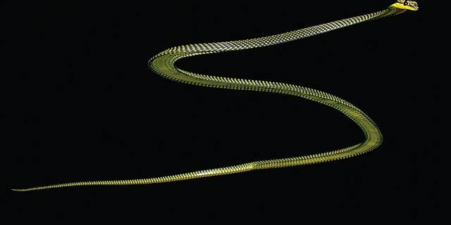 The paradise tree snake mid-glide.