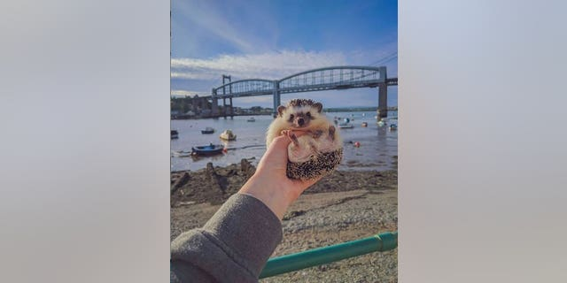 Winston by the Saltash Passage. A pet hedgehog has become a social media 'celebrity' after being pictured at famous landmarks while on a walk with its owner. See SWNS story SWPLhedgehog. A pet hedgehog has become a social media 'celebrity' after being pictured at famous landmarks while on a walk with its owner. Georgie Andrews, 23, has a pet African pigmy hedgehog called Winston Churchquill and the pair are inseparable. So much so, that on a recent walk around Plymouth, Devon, Georgie decided to take Winston with her. She photographed the tiny mammal in front of many iconic sights in the city, including the Hoe, the Barbican, and the Naval Memorial.