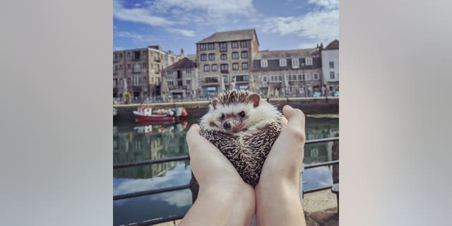 Winston at the The Barbican and Sutton Harbour. A pet hedgehog has become a social media 'celebrity' after being pictured at famous landmarks while on a walk with its owner. See SWNS story SWPLhedgehog. A pet hedgehog has become a social media 'celebrity' after being pictured at famous landmarks while on a walk with its owner. Georgie Andrews, 23, has a pet African pigmy hedgehog called Winston Churchquill and the pair are inseparable. So much so, that on a recent walk around Plymouth, Devon, Georgie decided to take Winston with her. She photographed the tiny mammal in front of many iconic sights in the city, including the Hoe, the Barbican, and the Naval Memorial.