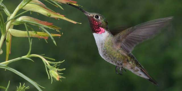 To other birds, this male's magenta throat feathers likely appear as an ultraviolet plus purple combination color. (Credit: David Inouye, University of Maryland-College Park)