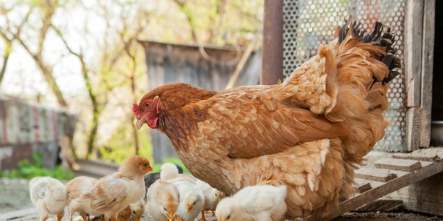 The latest salmonella outbreaks linked to contact with backyard poultry have resulted in one person's death and 86 hospitalizations, the CDC recently reported.
