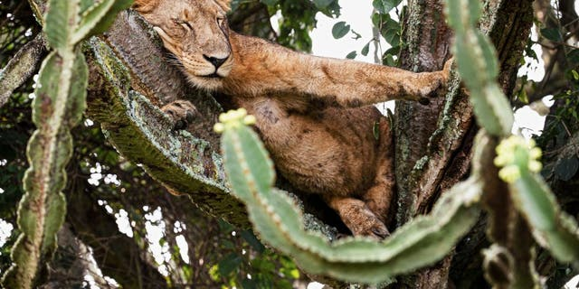 positive news This is the moment a photograph captured a pack of lazy lions choosing to take a nap on the branches of a huge cactus-like tree, the euphorbia tree. (Credit: SWNS)