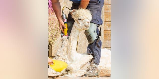 Alpacas get their heavy coats sheered at Velvet Hall Alpacas in the Scottish Borders. June 2 2020 (Credit: SWNS)