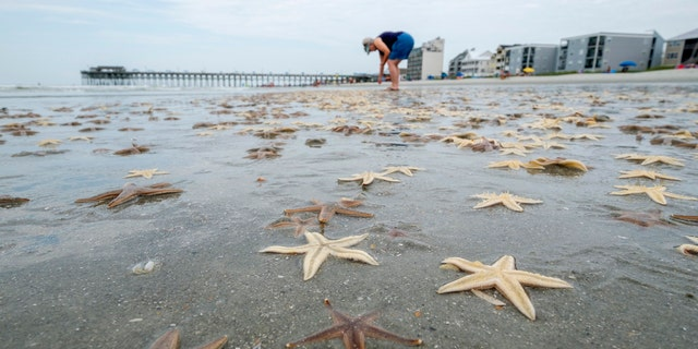Linda Frizzell, of Murrells Inlet, searches out dead starfish to collect on Garden City Beach, S.C., June 29.