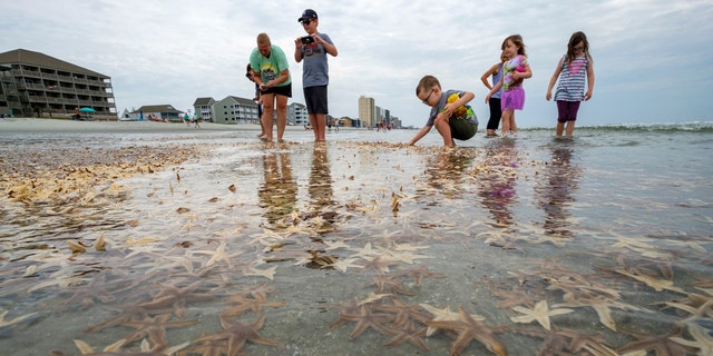 Thousands of small starfish washed ashore during low tide on Garden City Beach, S.C. Residents and tourists rushed play in the mass of wriggling starfish, collecting some and putting handfuls of others back into the water.