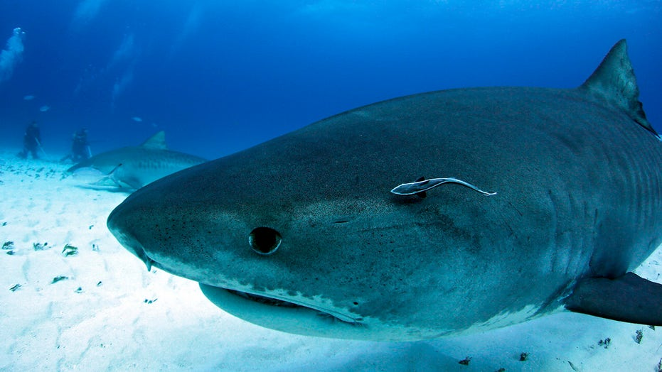 Shark attacks woman swimming with tourist group in Hawaii, officials say