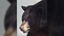 Bear breaks into Aspen home, swipes at homeowner with paw