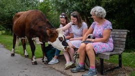 Amusing photos show cows walking around nature reserve, including one trying to eat people's lunches