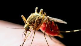 Mosquitoes found with West Nile Virus in New York City, officials say