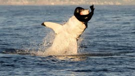 WARNING GRAPHIC IMAGE: Great white shark spotted breaching water to feed on seal pup