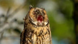 Photographer snaps funny picture of owl yawning