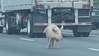 Lost pigs stop traffic on Virginia interstate, wild video shows
