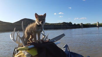 Man saves drowning coyote pup, takes it on 10-day rafting trip