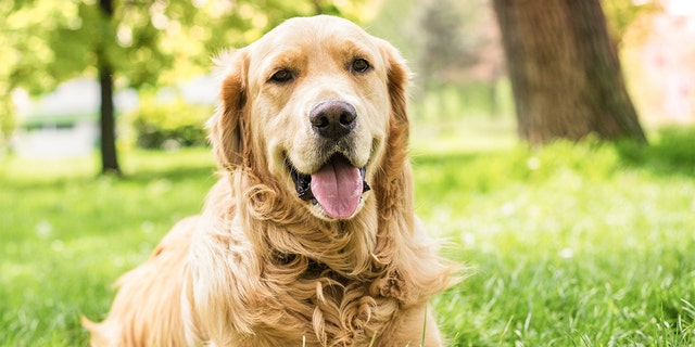 A Golden Retriever is a medium-to-large-sized gun dog that was bred to retreive shot waterfowl. It has distinct golden-hued fur. (iStock)