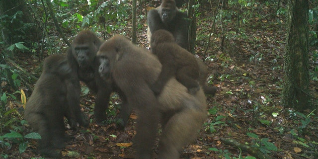 A group of Cross River gorillas, including a baby, photographed on June 22, 2020.