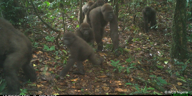 The images of the group of Cross River gorillas have thrilled conservationists.